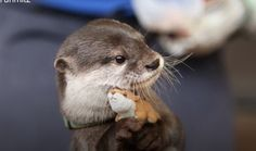 If I could have any animals, I would have a wolf and an otter (and a dragon but you know. Otters Cute, Baby Otters, Baby Sloth, Animals And Pets, Funny Animals, Tierischer Humor, Cute Little Animals, Scottish Fold, Tier Fotos