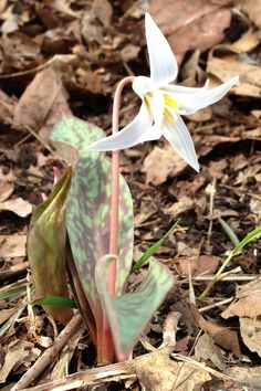 White Trout Lily via Kentucky Forager Spring Flowers, Wild Flowers, Planting Bulbs, Plants, Trout Lily, Bulb Flowers, Native Plants, Perennials, Lily