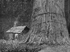 Engraving Showing a Log Cabin Next to an  Enomous Redwood Tree Trunk, california, 1888
