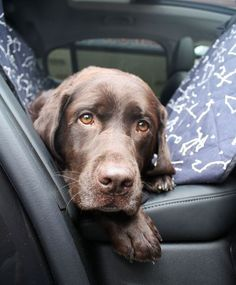 Check out the MollyMutt car seat cargo cover to make your car more dog friendly. I love the Rocketman print and it looks great alongside my Chocolate Labrador! A good seat car cover is essential for pet parents who love to take their dog on fun adventures and dog friendly road trips. It cuts down on the dog hair left in your car, too! Perro Labrador Chocolate, Chocolate Lab Puppies, Chocolate Labs, Cute Puppies, Cute Dogs, Dogs And Puppies, Doggies, Maltese Dogs, Labrador Retriever Dog