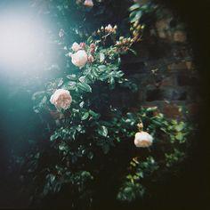 Ophelias Flowers II. - 8x8 Fine Art Photograph. Nature, dark tones, lomography, soft focus, romantic. Home decor via Etsy