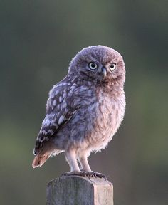 Little Owl Source: Flickr / laplandmul