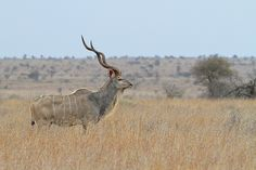 Greater Kudu Bull, long horns yet the curls arn't nice and deep, not my ideal bull