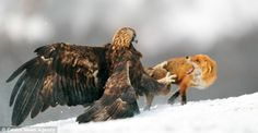 Fighting Tooth & Nail in Bulgaria. Backbiting or Biting Back? Golden eagle with the golden touch ... on a fox ... to remind it whose dinner it's trying (and not going) to steal.