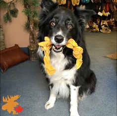 Our puppy Moya found herself a dog tug here at the shop. She just can't help herself! Silly Moya, it's hard to be mad at a puppy that's so darn cute. Border Collie, Puppies, Happy, Dogs, Cute, Shop, Handmade, Animals, Cubs