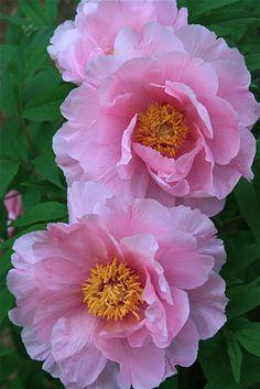 Beautiful Rose Flowers, Large Flowers, Beautiful Gardens, Pink Flowers, My Flower, Flower Power, Peony Flower, Decoration Plante, Peonies Garden