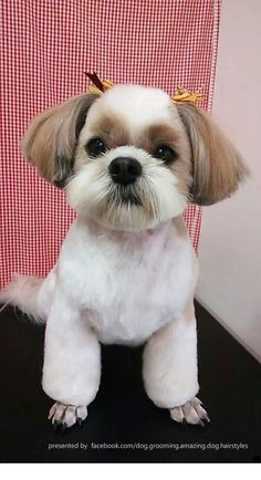 lhasa apso puppies for sale . lhasa apso puppies names . lhasa apso puppies so cute . Baby Puppies, Cute Puppies, Cute Dogs, Dogs And Puppies, Teacup Puppies, Perro Shih Tzu, Shih Tzu Puppy, Shih Tzus, Dog Grooming Business