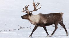 Caribou Reindeer