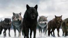 Bildergebnis für twilight wölfe