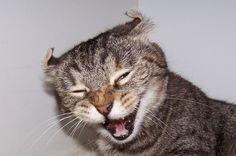 You are soooo funny. American Wirehair, American Bobtail, American Shorthair, British Shorthair, Burmilla, American Curl, Abyssinian, Small Cat, Cat Boarding