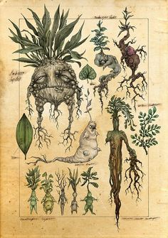 A mock botanical illustration of mandrakes. In the world of Harry Potter, when the mandrake root is dug up it screams and kills all who hear it. Art And Illustration, Botanical Illustration, Halloween Illustration, Botanical Drawings, Botanical Prints, Fantasy Kunst, Fantasy Art, Fantasy Drawings, Illustrations Harry Potter