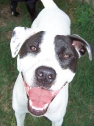 Hope is an adoptable Boxer Dog in Little Rock, AR. ADOPT ME! Hope is a very affectionate mixed breed that wants to please. We think she may be an pointer/boxer mix. This sweet girl weighs in about 40 ...