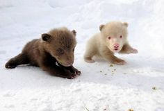 """cute-overload: """"Salt, a rare albino brown bear, and her brother Pepper http://cute-overload.tumblr.com """""""