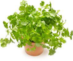 Korianteri | Oksasen Puutarha Shrubs, Perennials, Trees, Garden, Flowers, Plants, Garten, Tree Structure, Lawn And Garden