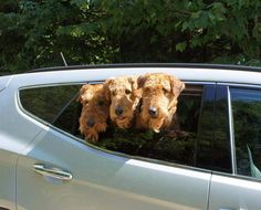 Triple trouble 3 very cute airedales
