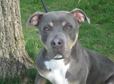 Scooby is an adoptable Pit Bull Terrier Dog in Harrisburg, PA. Hi, my name is Scooby and I'm a happy, energetic and friendly guy who can be full of himself at times. I admit to being mouthy on occasio...