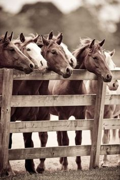 If you have unique photos of your horses, why not turn them into very special art for your home. They are the truest expression of your equestrian style. All The Pretty Horses, Beautiful Horses, Animals Beautiful, Horse Pictures, Animal Pictures, Horse Photos, O Cowboy, Farm Animals, Cute Animals