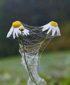Photo by : . Spider Art, Spider Webs, Daisy Love, Artist Gallery, Amazing Nature, Belle Photo, Nature Photos, Beautiful Flowers, Nature Photography