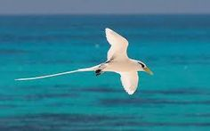 A Beautiful Bird of The Seychelles, Indian Ocean.