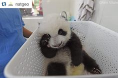 #Repost @natgeo with @repostapp.  Photo by @amivitale #onassignment for @natgeo. It's not easy being so cute. Newborn giant pandas grow fast and need to be weighed every day at the Bifengxia Giant Panda Breeding and Research Center in Sichuan Province China. Keepers and their mothers work hard to ensure they are healthy and happy.  @ipandacam @natgeocreative @thephotosociety #pandas #babypandas #bifengxia #sichuan #conservation #natureisspeaking #china #animals #wildlife #photooftheday…