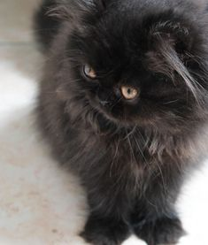 Persian cat Hava_baby ! My love. #PersianCat