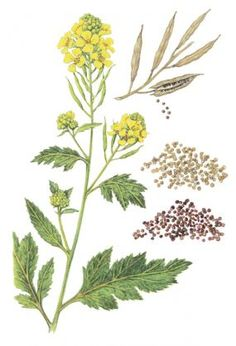 Black mustard plant with seed pod and seeds - with great informative article to read about growing/using mustard