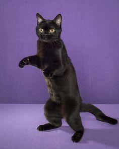 bombay cat standing