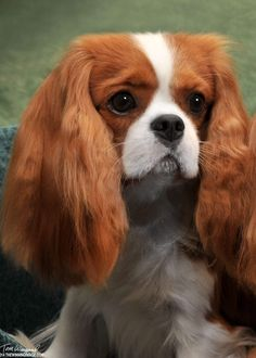 Cavalier King Charles Spaniel – Graceful and Affectionate Cavalier King Charles Dog, King Charles Spaniel, Spaniels For Sale, Cute Dog Pictures, Dog Names, Dog Training, Cute Dogs, Corgi, Puppies
