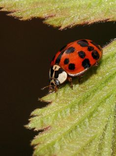 ˚Harlequin Ladybird