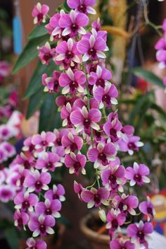 Dendrobium 'Bangkok Blue' - Flickr - Photo Sharing!