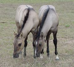 Grulla Horses
