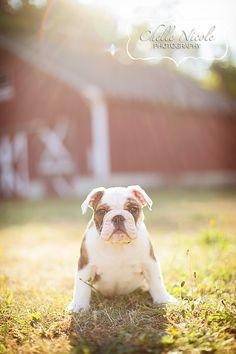 Lola's day at the park.     Pet Photograpy  Bulldog   Puppy   Dog  