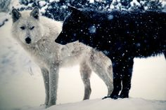 black_and_white_wolves_in_the_snow