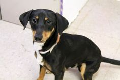 Leroy: Sweet dachshund is out of time at high-kill upstate shelter