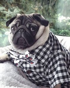 """Outstanding """"black pugs"""" information is readily available on our web pages. Check it out and you wont be sorry you did Pugs, Pug Puppies, Hipster Dog, Cute Dog Clothes, Animals In Clothes, Sweet Dogs, Black Pug, Black White, Dog Bows"""