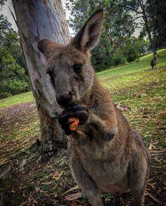@my_life_through_a_lens___ • Fotos y videos de Instagram Kangaroo, My Life, Lens, Instagram, Videos, Animals, Continents, Baby Bjorn, Animaux