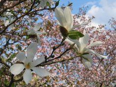 """Magnolia 'Kobus', Mustilan arboretumin """"vanha rouva"""""""