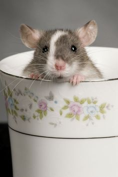 Rat in a tea cup The Effective Pictures We Offer You About types of Rodents A quality picture can tell you many things. You can find the most beautiful pictures that can be presented to you about Rode Hamsters, Rodents, Gerbil, Animals And Pets, Baby Animals, Funny Animals, Cute Animals, Strange Animals, Dumbo Rat