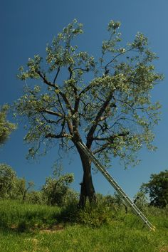 Olive Tree with Ladder