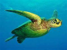 green sea turtle - Bing images