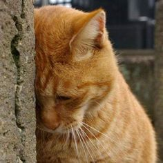 Kitties dont typically display pain as overtly as other animals might. They dont often yowl if they feel sick; in fact they might even try to hide their pain until theyre seriously ill. I Love Cats, Crazy Cats, Cute Cats, Animals And Pets, Cute Animals, Cat Whisperer, Orange Cats, Ginger Cats, Cat Facts