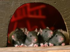 Foods That Are Poisonous to Your Rat