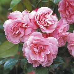 Old Blush China - David Austin Roses Extremely long flowering, medium fragrance, hardy