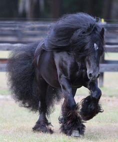 starbuck-gypsy vanner stallion
