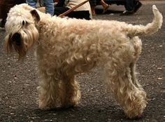 Terrier Wheaten