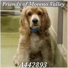 ★★AT RISK FOR EUTHANASIA★★ PER SHELTER, NEEDS AN ADOPTER OR RESCUE COMMITMENT BY NOV 29TH  #A442893 MORENO VALLEY, CA male, buff and white Cocker Spaniel mix...City of Moreno Valley Animal Control Services. https://www.facebook.com/135559229932205/photos/a.382565775231548.1073741961.135559229932205/386065738214885/?type=3&theater