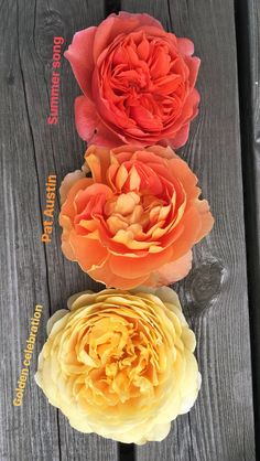 English rose, pat austin, golden celebration, austin roses, david austin
