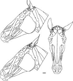 horse face anatomy - Google Search