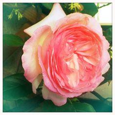 la prima rosa ...