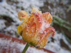 Picture of a spring tulip with snow on the flower Spring Snow, Snow Pictures, Tulips, Seasons, Flowers, Plants, Seasons Of The Year, Snow Photography, Plant